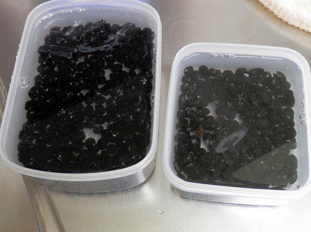 黒豆:浸水開始