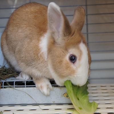 レタスを食べています