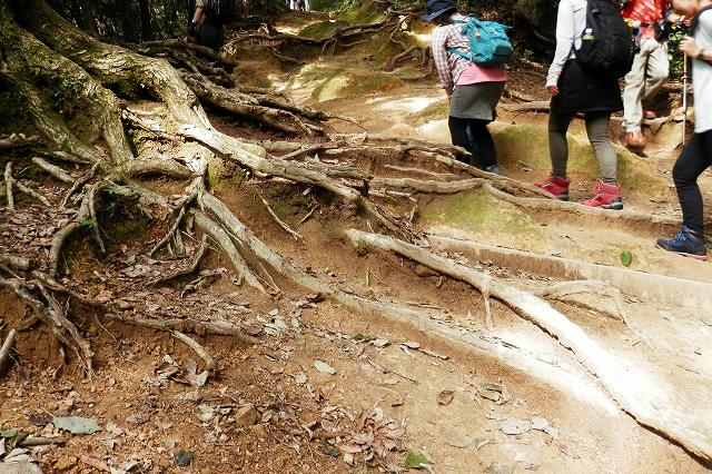 稲荷山コースの木の根っこ2