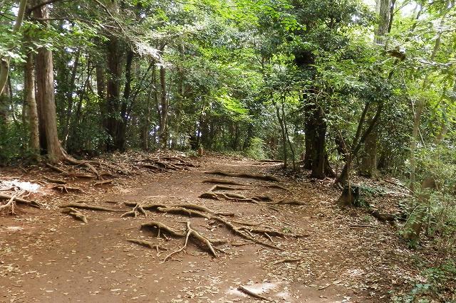 稲荷山コースの木の根っこ