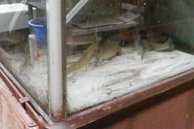 岩魚の水槽