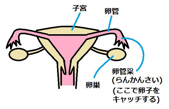 卵巣と卵管