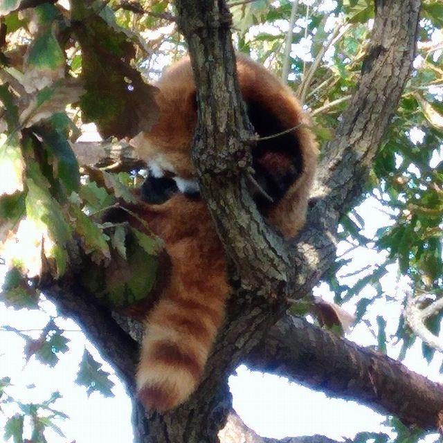 野毛山動物園のレッサーパンダ(お腹毛づくろい)