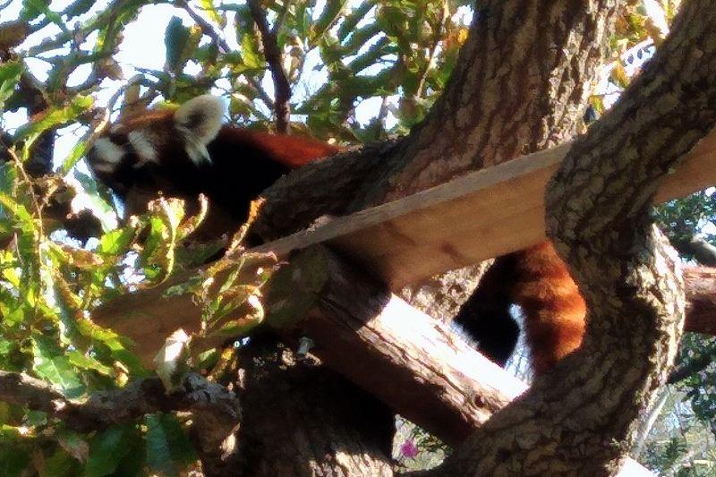 野毛山動物園のレッサーパンダ(ねそべり)