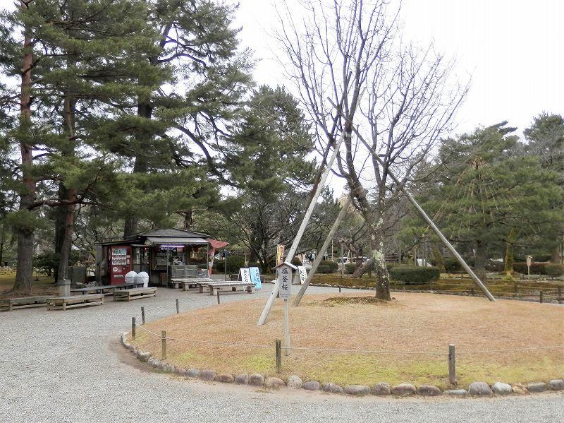 兼六園内のお茶屋さんと桜の木